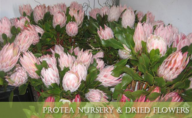 Protea Décor & Flower Nursery King Proteas